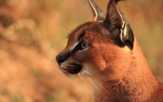 caracal, рысь, степная, большие, кошки, картинку, zhivotnye, голова, хищник, головы,