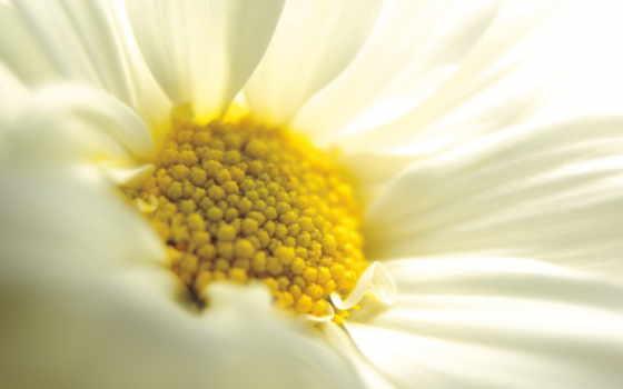 ромашка, flowers