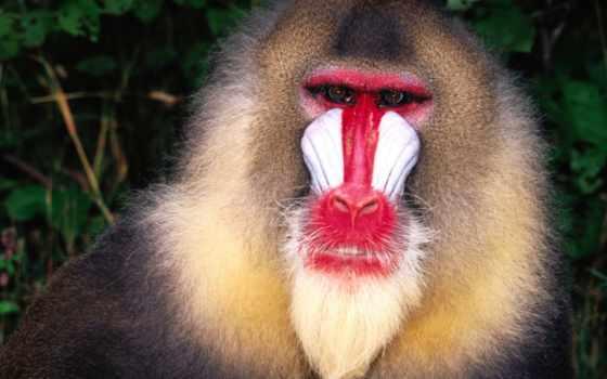 обезьяна, обезьяны, красноносая