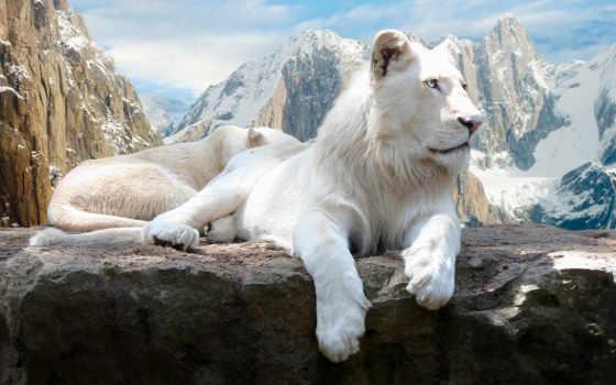 львы, lion, white, zhivotnye, кот, горы, альбиносы,