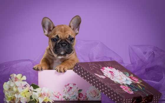 бульдог, francuski, french, bulldog, tapety, twoja, roździelczość, щенок, pies, puzzle,