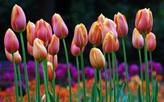 hoa, тюльпан, những, hành, nhất, лан, màu,