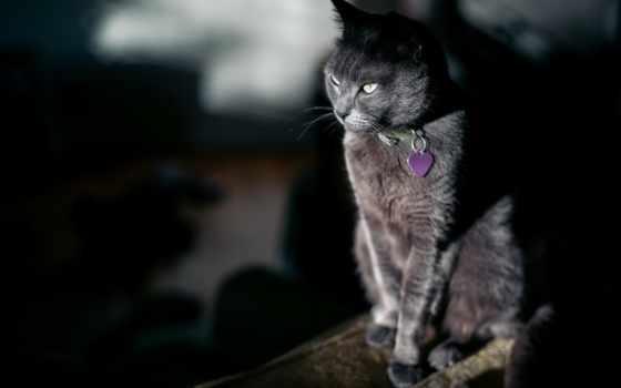 кот, телефон, корзина, black, британец, animal, сфинкс, голубые, свет,