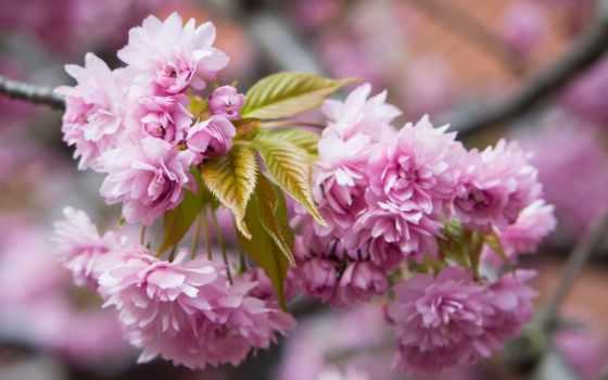 cvety, дерево, цветение, Сакура, весна, branch, цветами, розовыми, розовые, мар, trees,