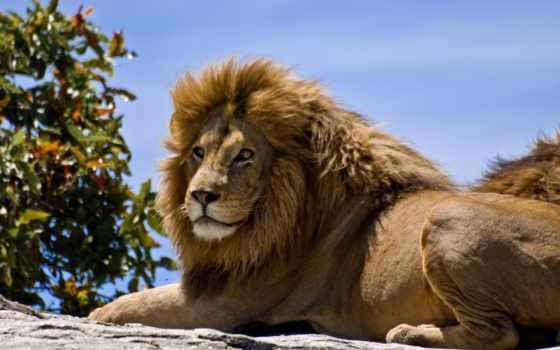 lion, львы, животных
