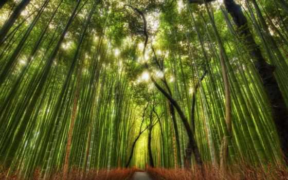 природа, аллея, бамбук, лес, human, travel