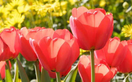 тюльпаны, красные, цветы