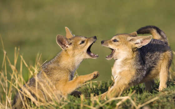 jackal, волки, kenya
