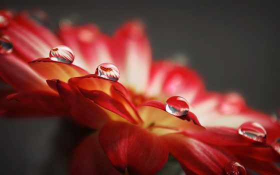 капли, росы, full, oboi, цветке, роса, макро, drop,