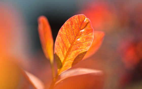 оранжевый, осень, листья
