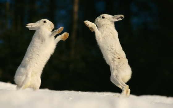 заяц, зайцы, zhivotnye, снегу, подборка, роет, картинок, зайцами, под, деревом, картинка,