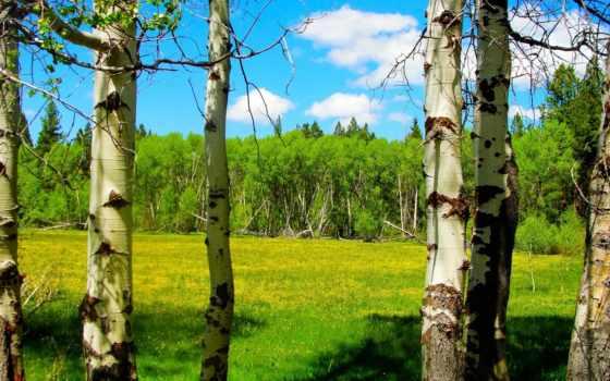 весна, trees, береза, лес, cvety, небо, луг, oregon, oblaka, сша, aspen,