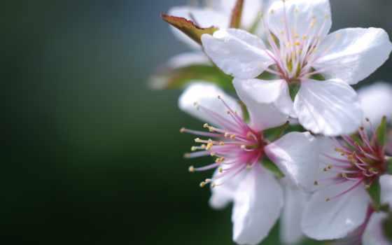 весна, cvety, цветы, весной, вишни, цветение, color, нежные, cherry, цветущей,