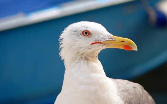 птицы, чайки, seagull, птиц, тюлень, голубые, глазки,