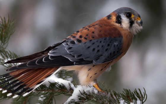 перепелятник, птицы, птица