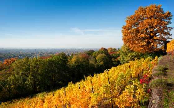 осень, vineyard