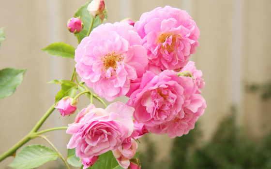 flowers, roses, цветы