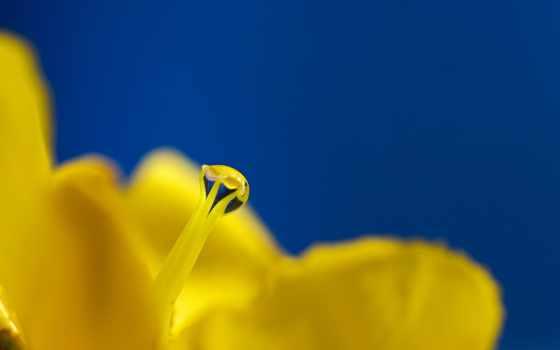 цветок, rosa, пестик
