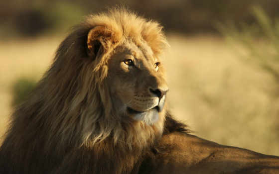 lion, king, desktop
