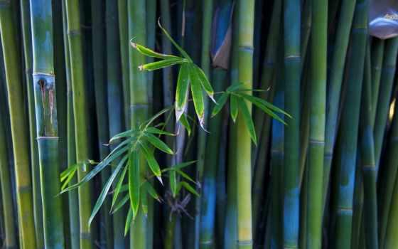 бамбук, природа, широкоформатные, красивые, листьями, разрешением,
