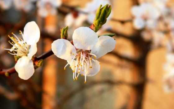 tapety, pulpit, tapeta, darmowe, cvety, весна, april,