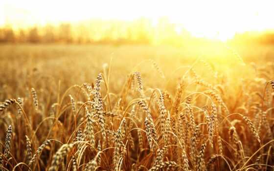 пшеница, поле, sun