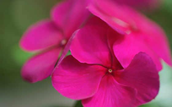 , розовый, лепестки,