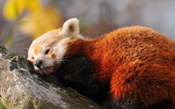 фокс, красная, панда