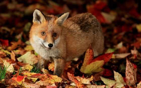 осень, фокс, листья