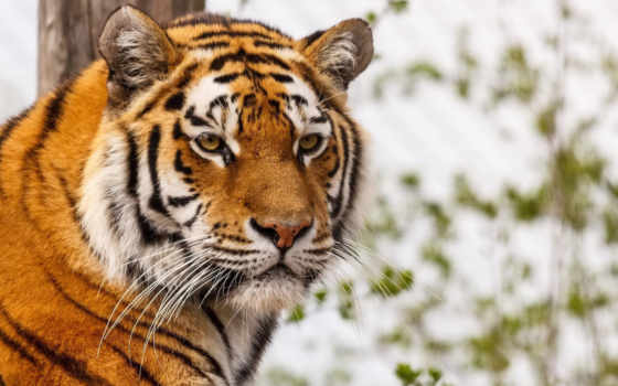 тигр, тигров, морда, тиграми, воде, linton, zoo, животные, ус,