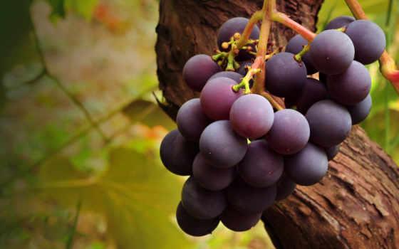 фрукты, фруктов, день, происходят, срезанных, большинство, лозы, небольшая, веток, семян,