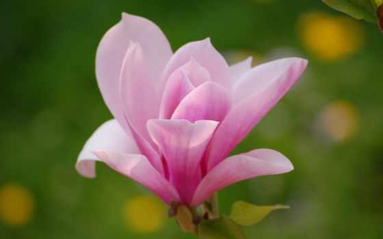 magnolia, cvety, макро, розовый, цветы, лепестки, свет,