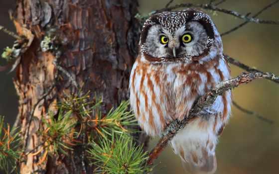 сова, ветке, филин, сидит, птица, сидящая, зеленоглазая, сне, дерева, branch,