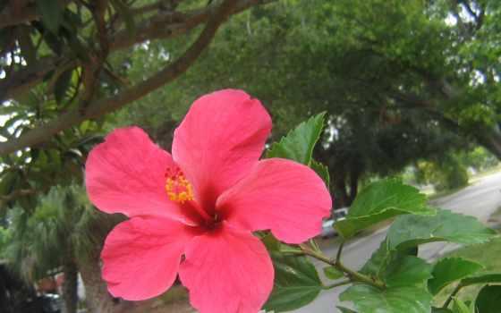 hibiscus, цветы, desktop, роза, blue,