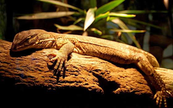 животные, iguana, поваленном, ящер, ветка, дереве, images, image, wallpaperup, картинку,