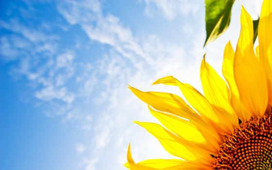 цветы, подсолнух, небо