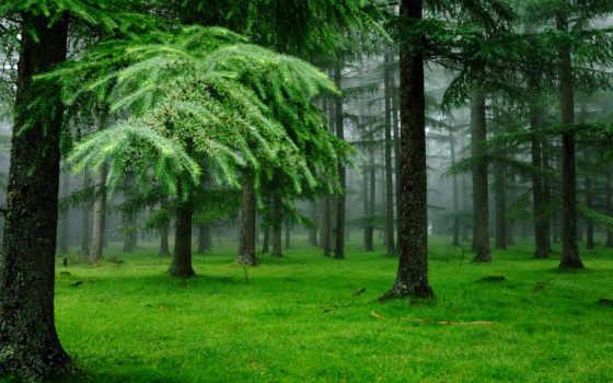 лес, ёль, природа