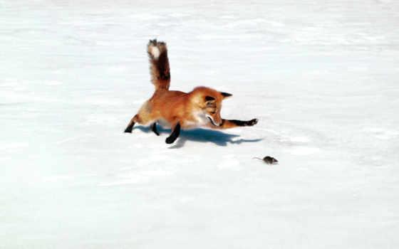 фокс, охотится, mouse