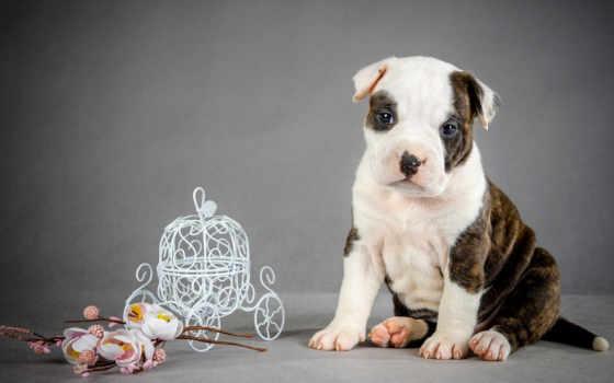 pies, szczeniak, słodkie, amstaff, słodki, tapety, psa, amstaf, piesek,