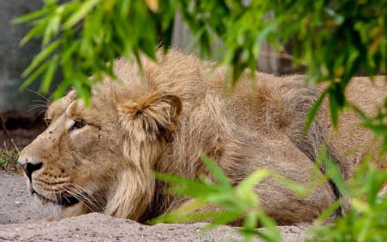 lion, animals, animal