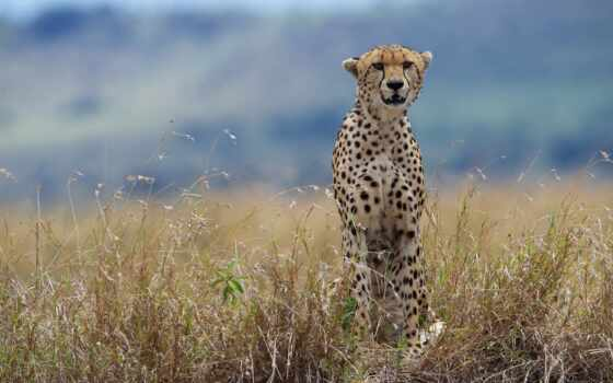 zhivotnye, большие, гепарды