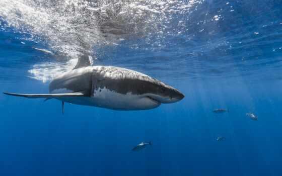 акула, underwater, море, ocean, sharks,
