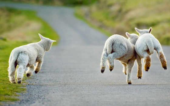 country, lambs, frolicking, вино, new, pokolbin, три, christchurch, zealand, march,