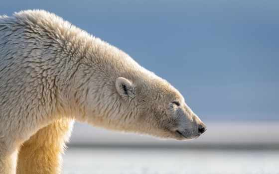 медведь, polar, profile, голова, картинка, grizzly, фото, мужской, ursus, stock, огромный,