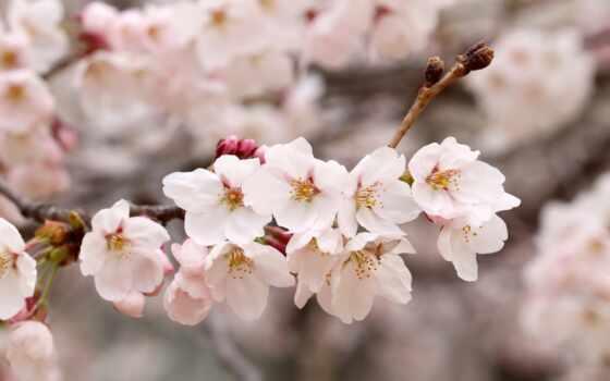 cherry, лепестки, primavera, pixabay, public, domain, uccello