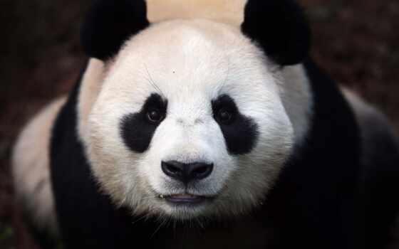 панда, морда, animal, медведь, white, black