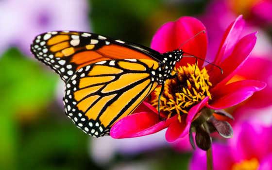 бабочки, бабочек, тропических