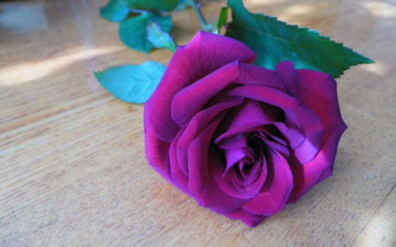роза, rare, цветы, roses, flowers, purple, seeds, радуга,