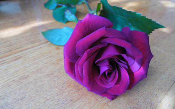роза, rare, цветы