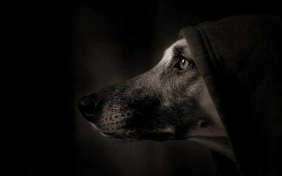 собака, собаки, морда